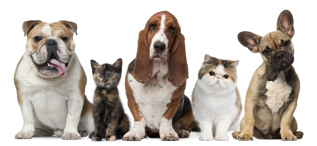 11615444 - group of cats and dogs in front of white background